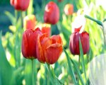 Red-tulips-wallpaper_1280x1024